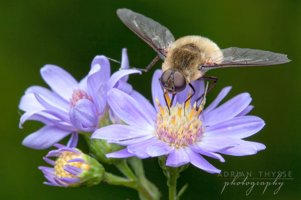 Bee fly (Family Bombyliidae) by Adrian Thysee ©