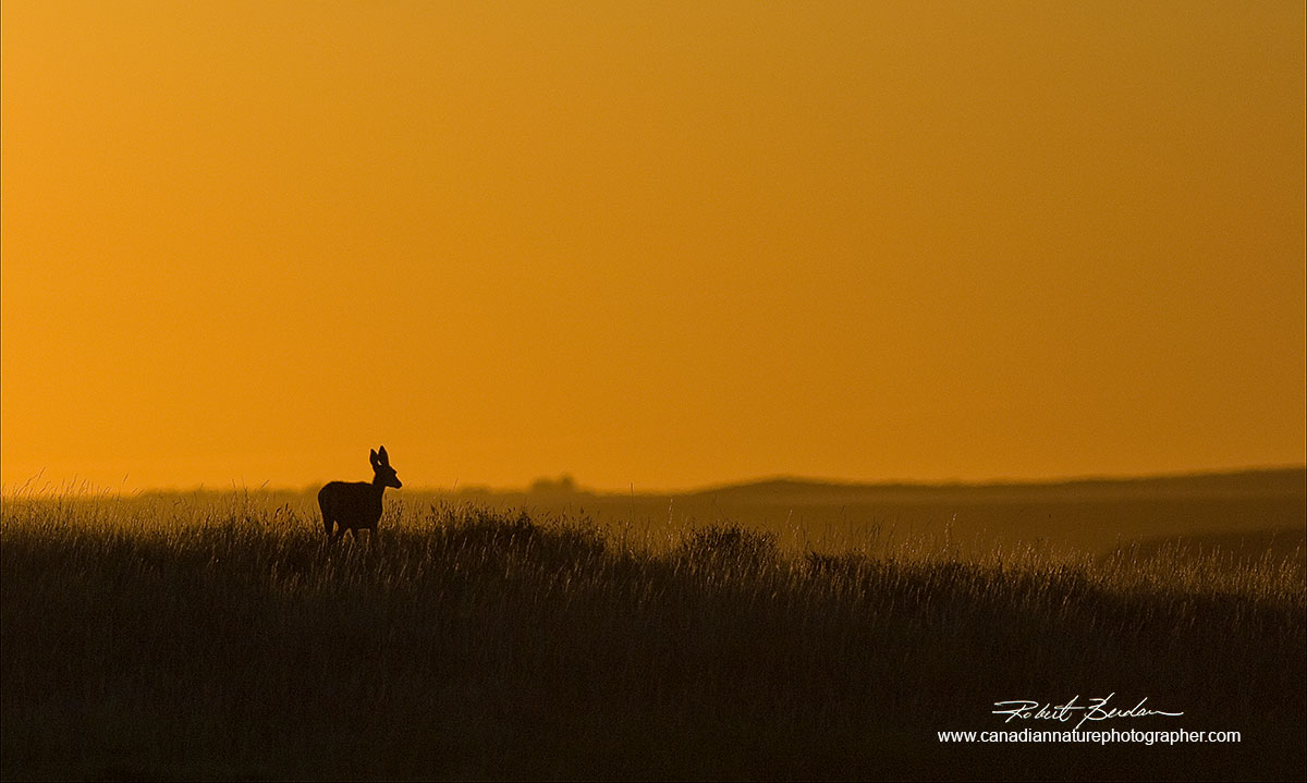 grasslands around Writing-on-stone provincial park with a mule deer Robert Berdan ©