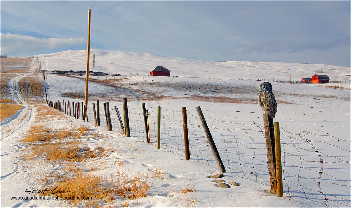 Great Gray Owl on fence post next to highway 1A near Morely, AB Robert Berdan