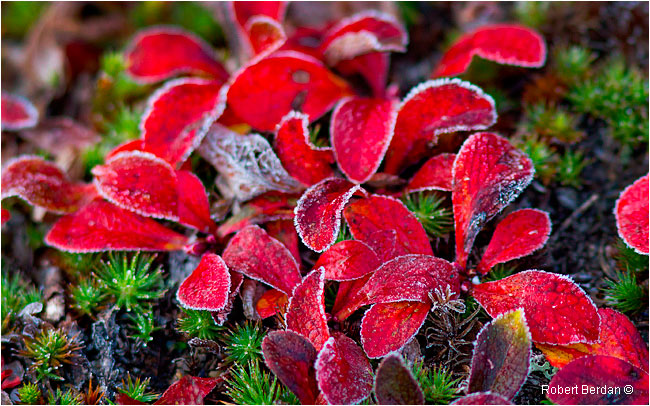 Red Bear berry leaves covered in frost by Robert Berdan ©