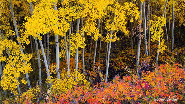 Aspens in autumn near Boundry Ranch in Kananaskis by Robert Berdan