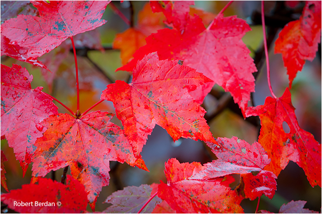 Red maple leaves by Robert Berdan ©