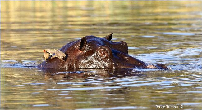 Hippo with Oxpeckers, Moremi, Okavanga Delta, Botswana by Bruce Turnbull ©