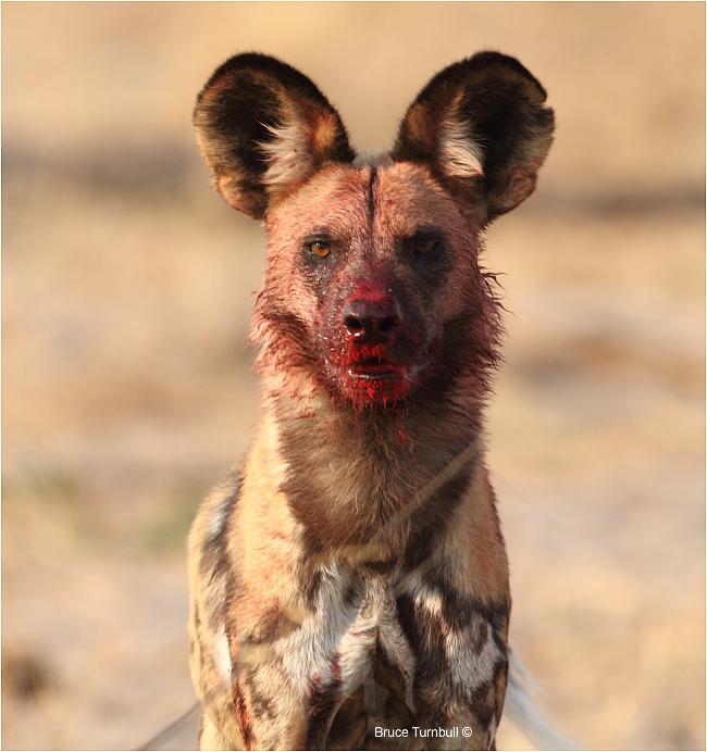 Wild Dog at a kill, Khwai Concession, Okavanga Delta, Botswana by Bruce Turnbill ©