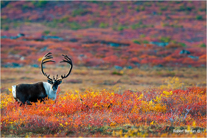 Caribou after moving it to the left using the Content Aware Move Tool in Adobe Photoshop CS6 by Robert Berdan ©