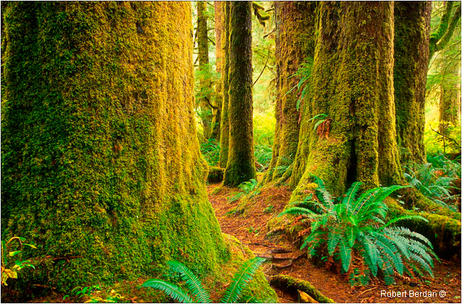 Ancient rainforest Carmanah valley, B.C. by Robert Berdan ©