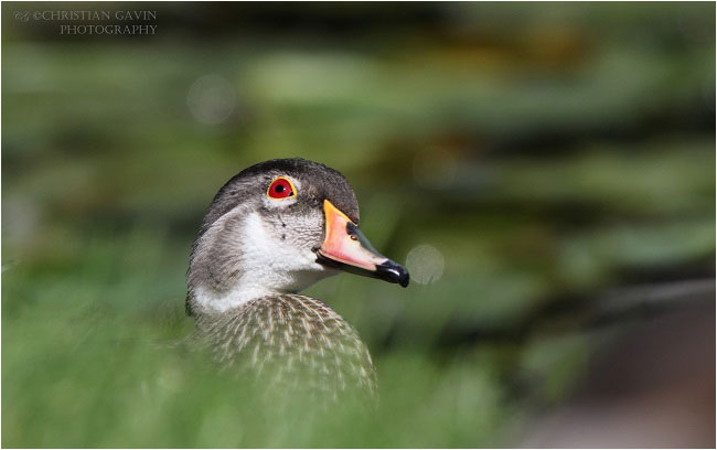 The Wood duck by Christian Gavin ©