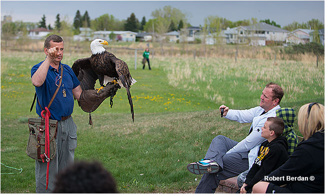 Flight demonstration with Bald eagle at Birds of Prey Center, Coaldale, AB by Robert Berdan ©