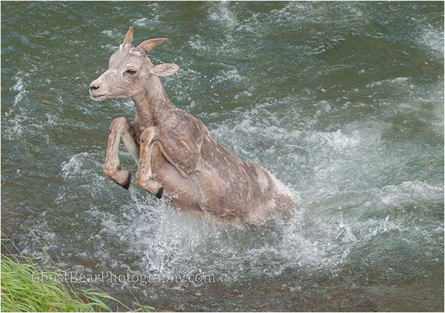bighorn sheep jumping out of river by ghostbear photography.com