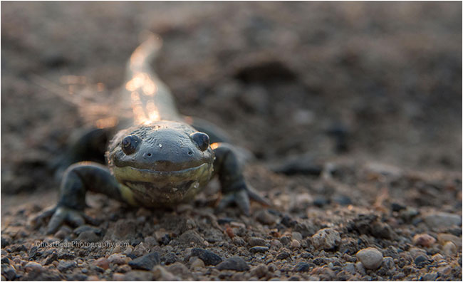 salamander by ghostbearphotography.com