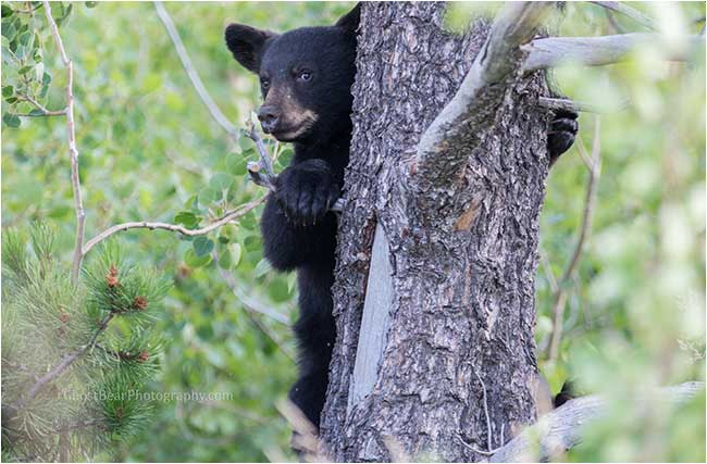 Baby black bear in tree by ghostbearphotohgraphy.com