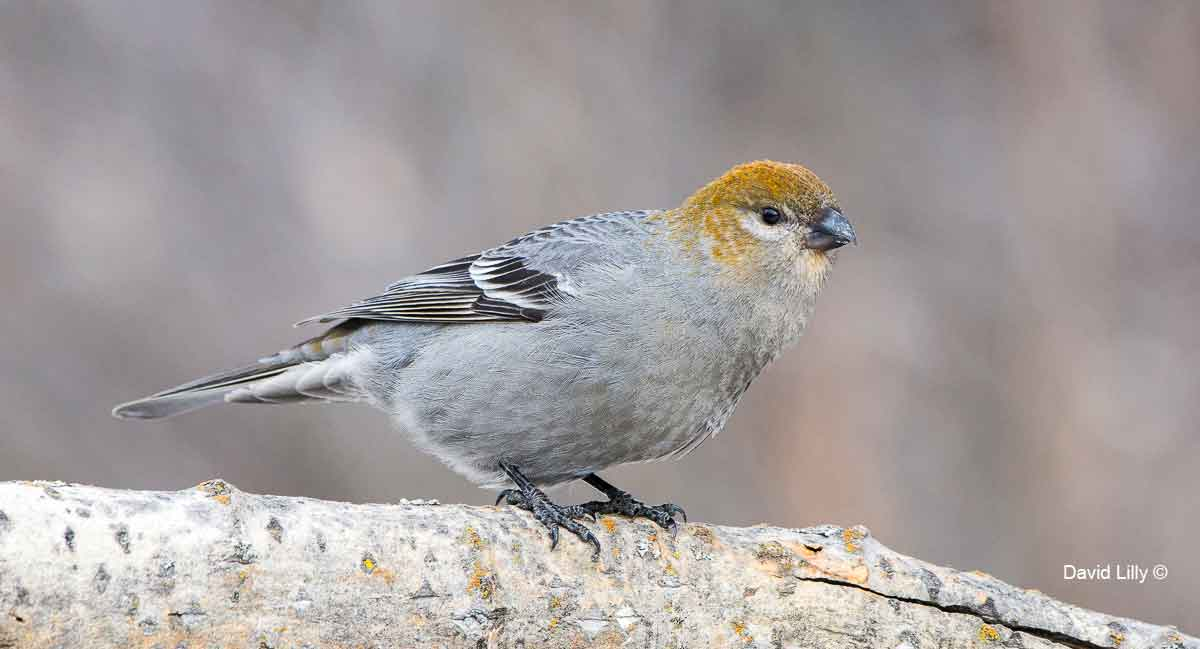 Pine Grosbeak (Female) by David Lilly ©