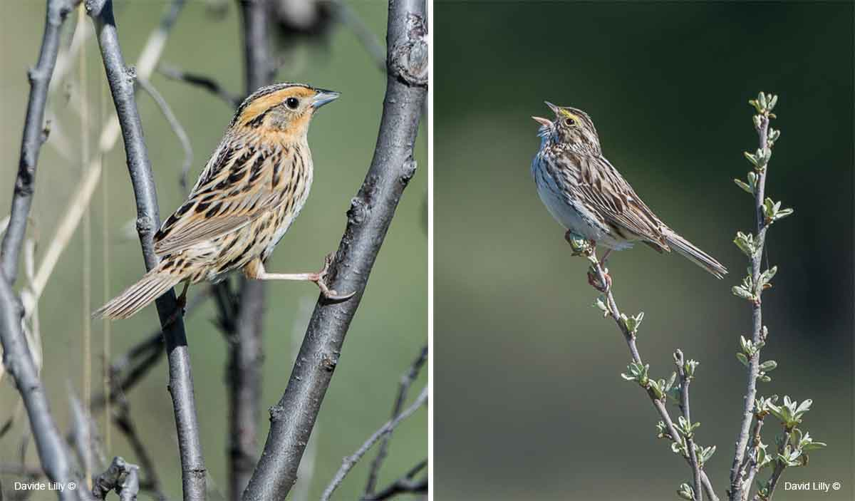 Nelson's sparrow and Savanah Sparrow by David Lilly ©