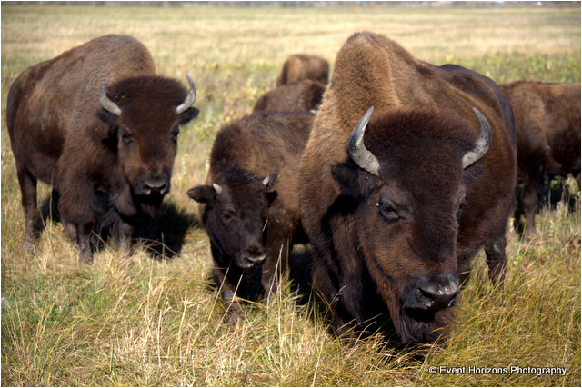 Bison at Fort Whyte by David Williams Event Horizons Photography ©