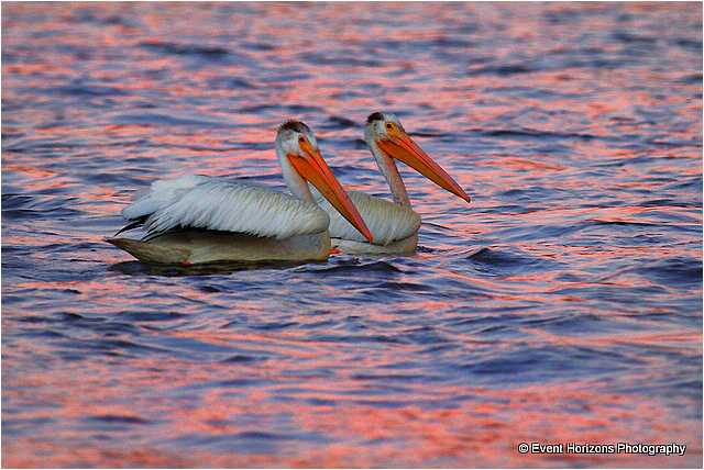 Pelicans by David Williams Event Horizons Photography ©