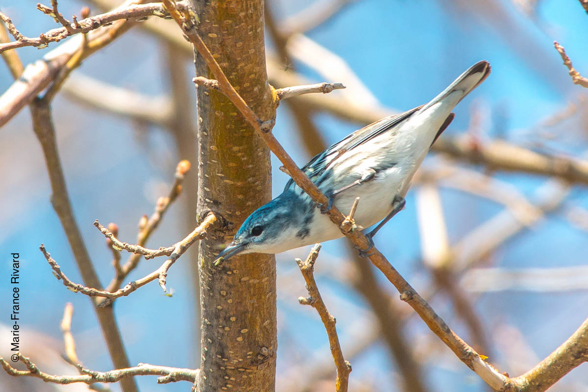 Cerulean warbler (Paruline azurée) – an endangered species by Marie-France and Denis Rivard ©