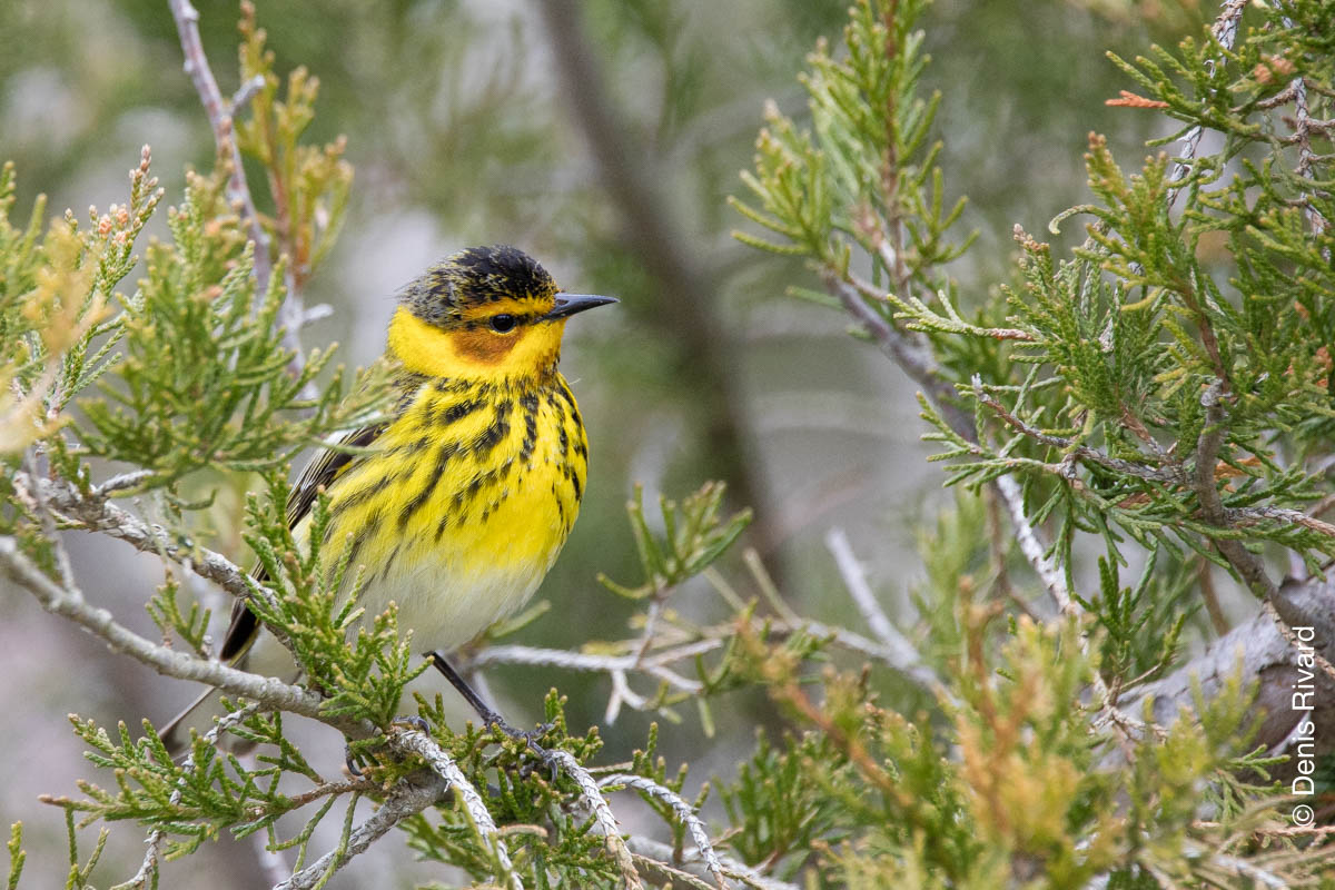 Cape May warbler (paruline tigrée) By Marie-France and Denis Rivard ©