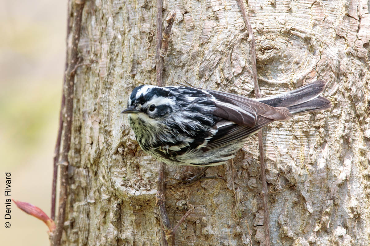 Black-and-white warbler (paruline noire-et-blanche) By Marie-France and Denis Rivard ©