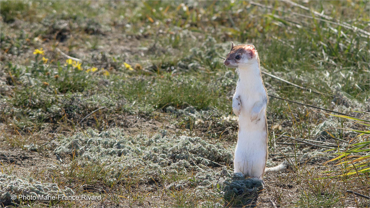 Short-tailed weasel in Douglas Provincial Park by Marie-France Rivard ©
