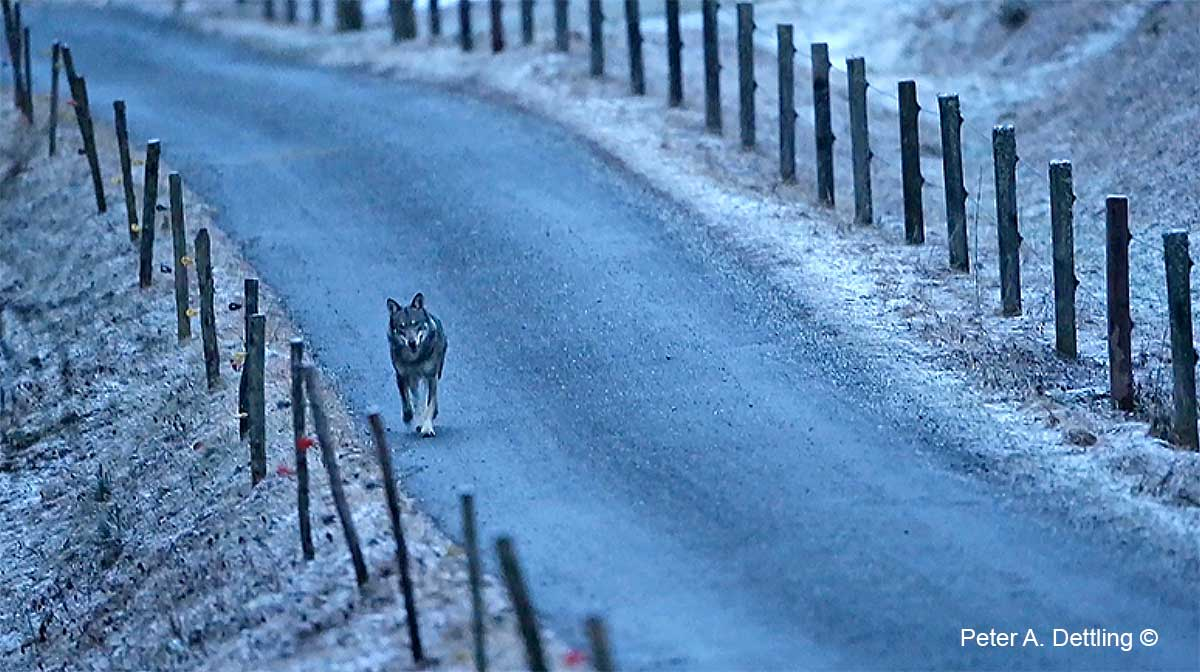 Wolf on road by Peter A. Dettling ©