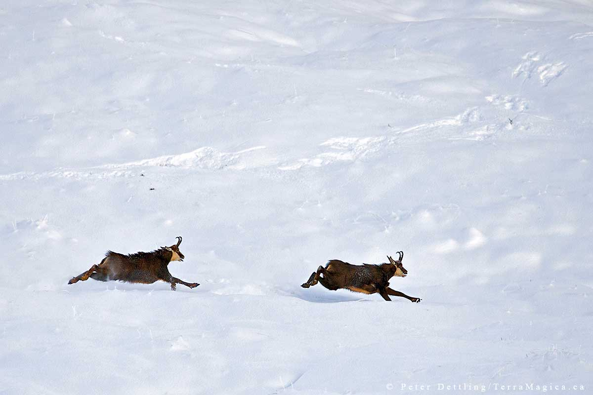 Two chamois bucks fight for the right to mate by Peter A. Dettling ©