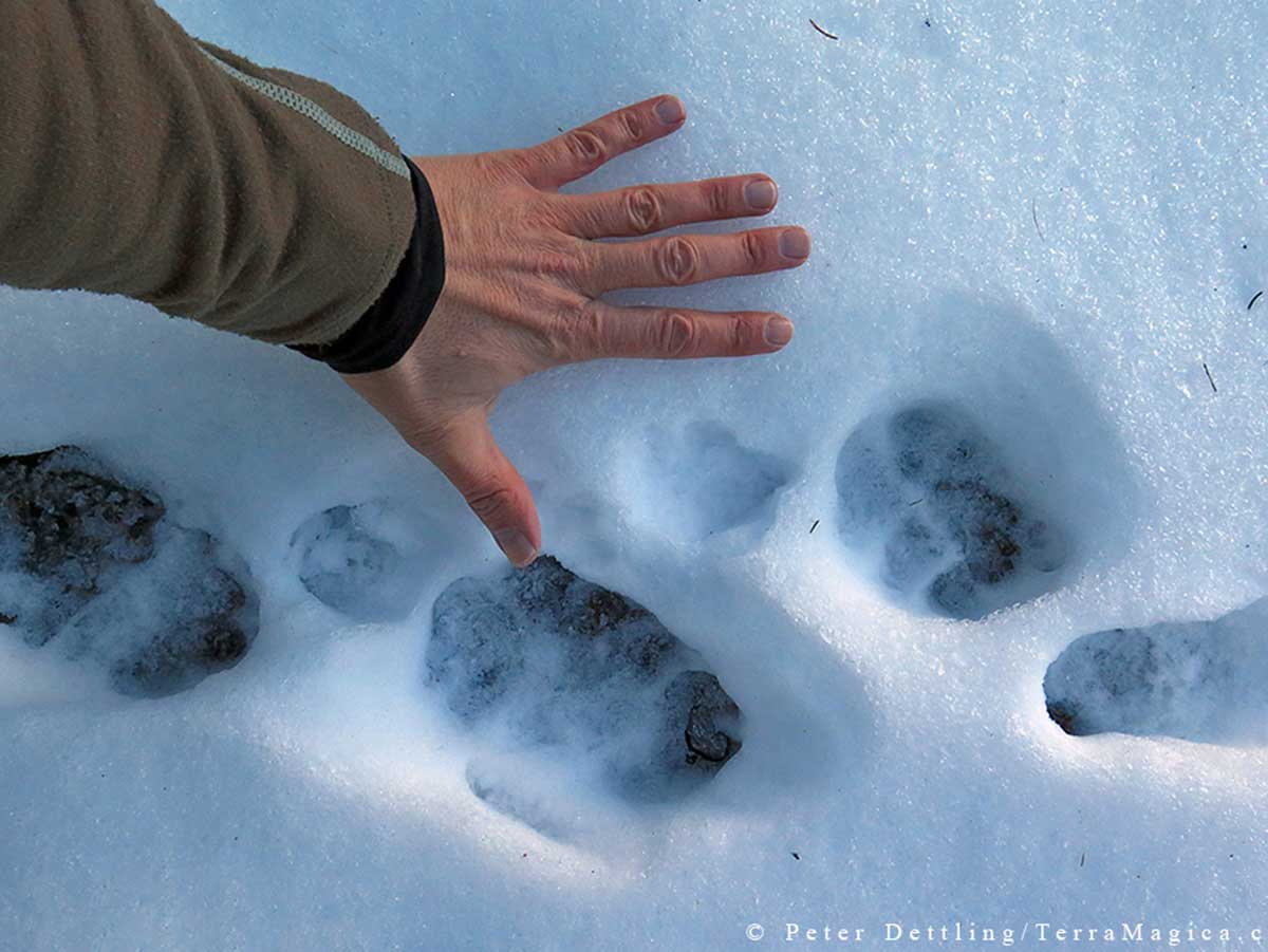 A red fox track (between the thumb and the index finger of the photographer) in comparison with the larger tracks of the Calanda wolves by Peter A. Dettling ©