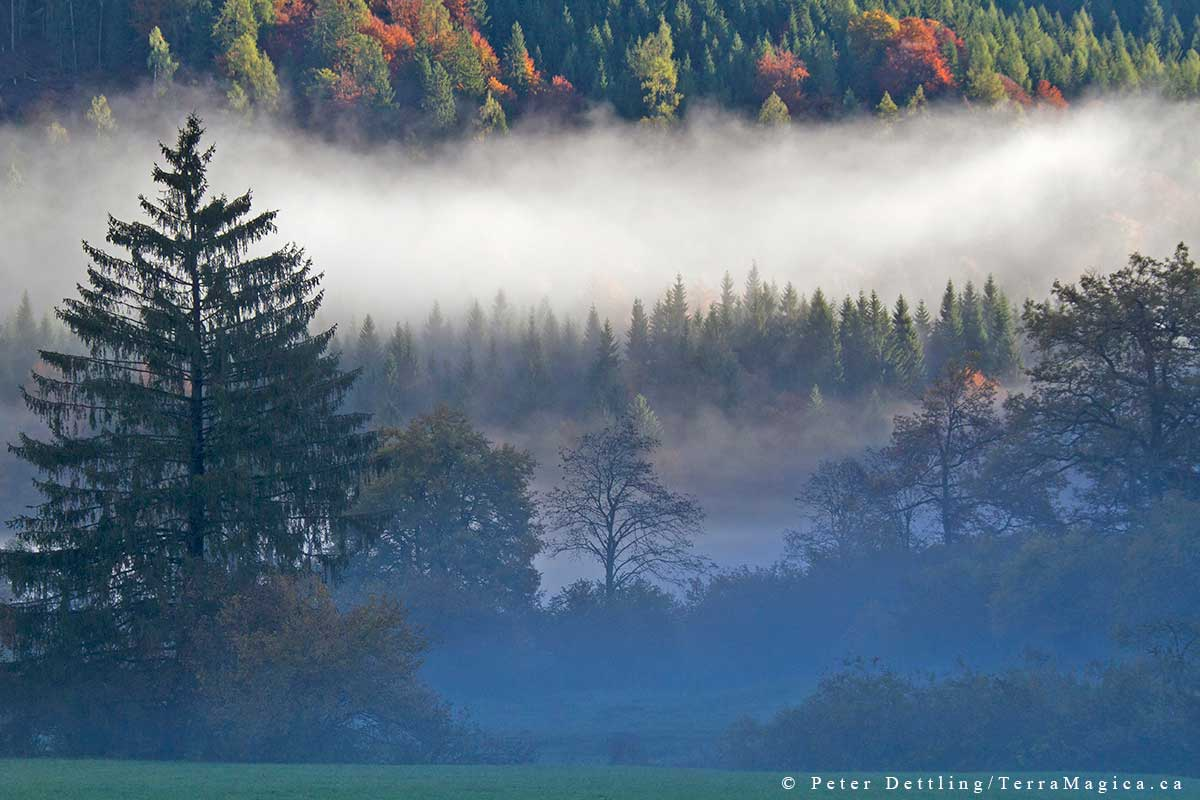 The mixed forests of the Calanda shine in their best light and colour in the fall by Peter A. Dettling ©