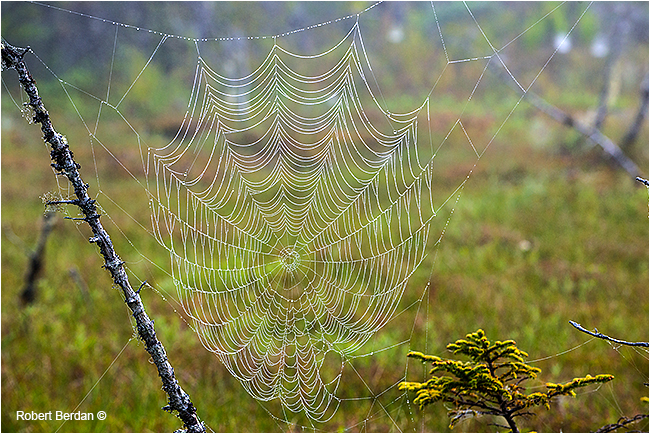 Dew covered spider web in marsh next to highway 16 by Robert Berdan ©