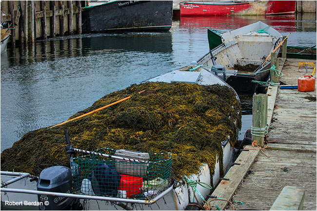 Havesting seaweed which is used for feed and fertilizer by Robert Berdan ©
