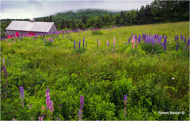 red barn surrounded by Lupins Nova Scotia by Robert Berdan ©
