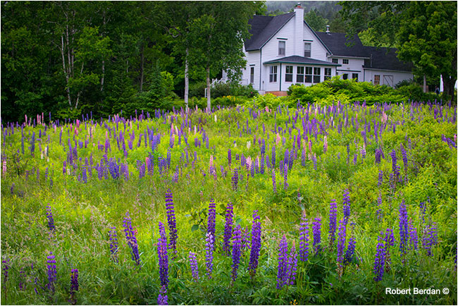 Lupins filled the yard of this home overlooking the ocean  by Robert Berdan ©