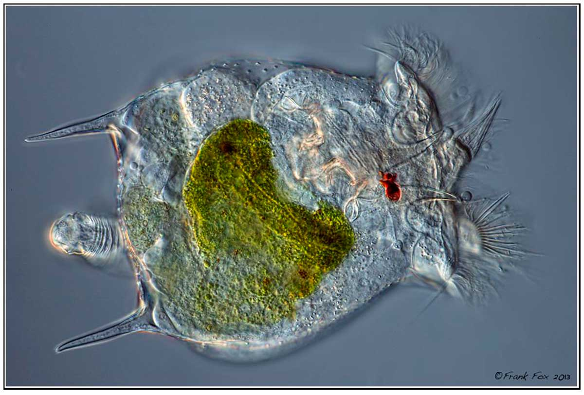 Rotifer by Frank Fox ©