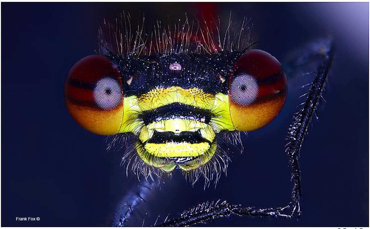 Large red damselfly by Frank Fox ©