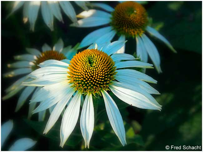 Ox eye daisy Silver Springs Park by Fred Schact ©