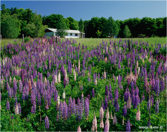 Lupins near Alberton, Prince Edward Island by George Hunter ©