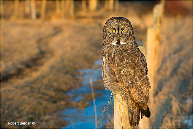 Great gray owl on fence next to Grande Valley Road by Robert Berdan ©