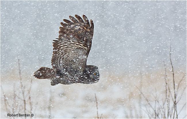 Great Gray Owl flying in snowstorm by Robert Berdan ©