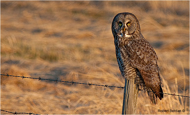 Great grY owl on fence post in Spring by Robert Berdan ©