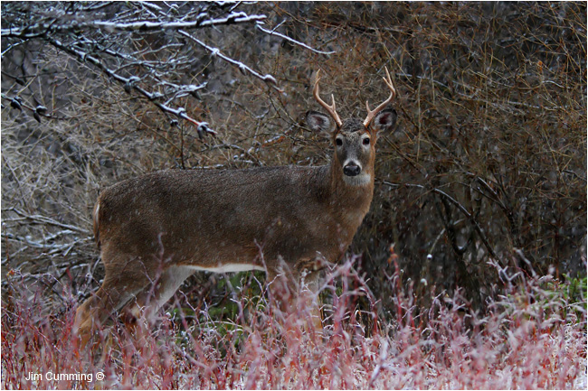 This six pointer walked around a group of does looking for a mate by Jim Cumming ©