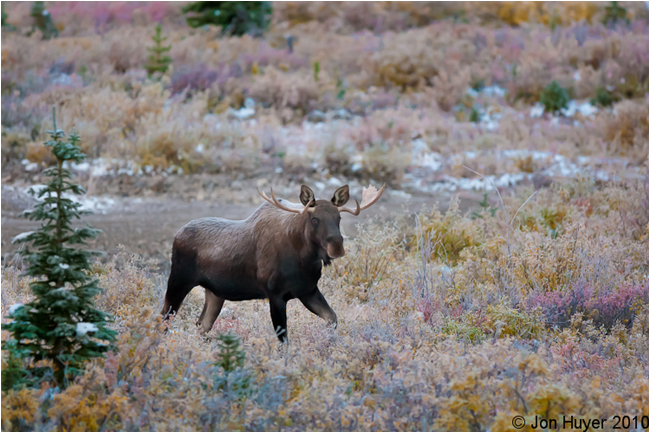 Young Moose at Engadine Lodge by Jon Huyer ©