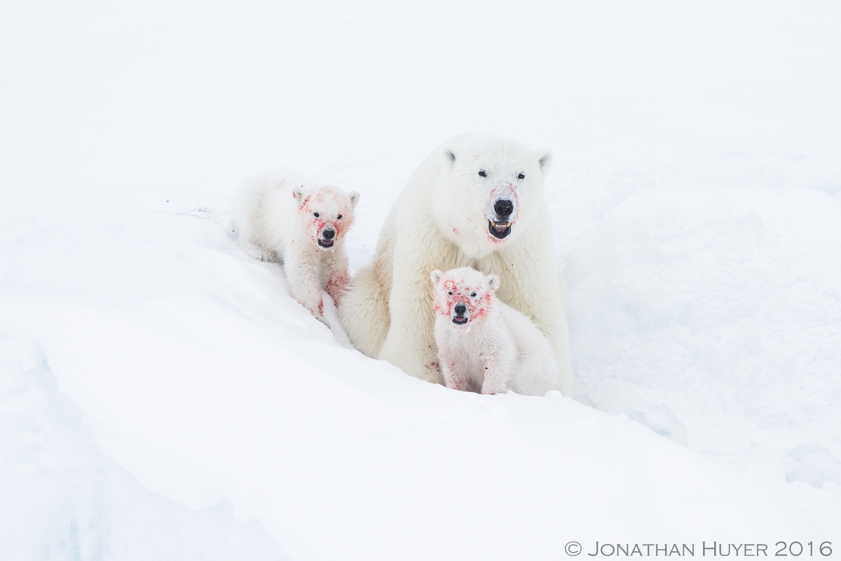 Polar Bears - messy eaters by Jonathan Huyer ©