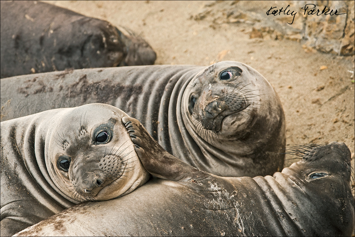 Northern elephant seal pups by Kathy Parker ©