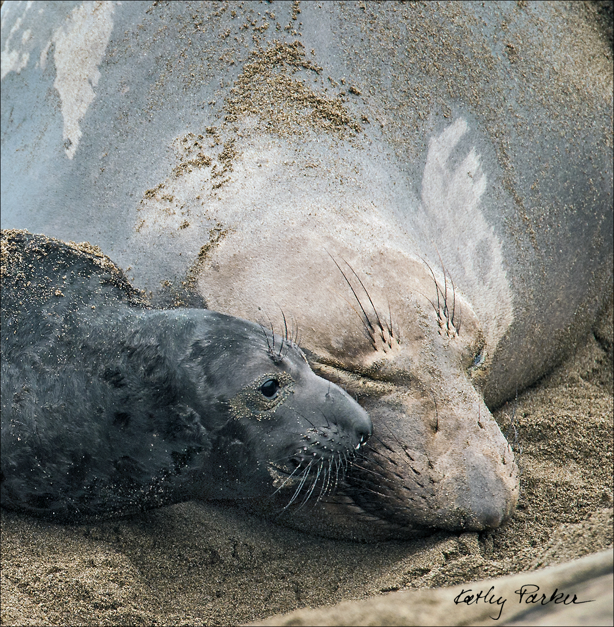 Female and pup elephant seal by Kathy Parker ©