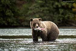 Photograhing Bears by Kyle Smith ©
