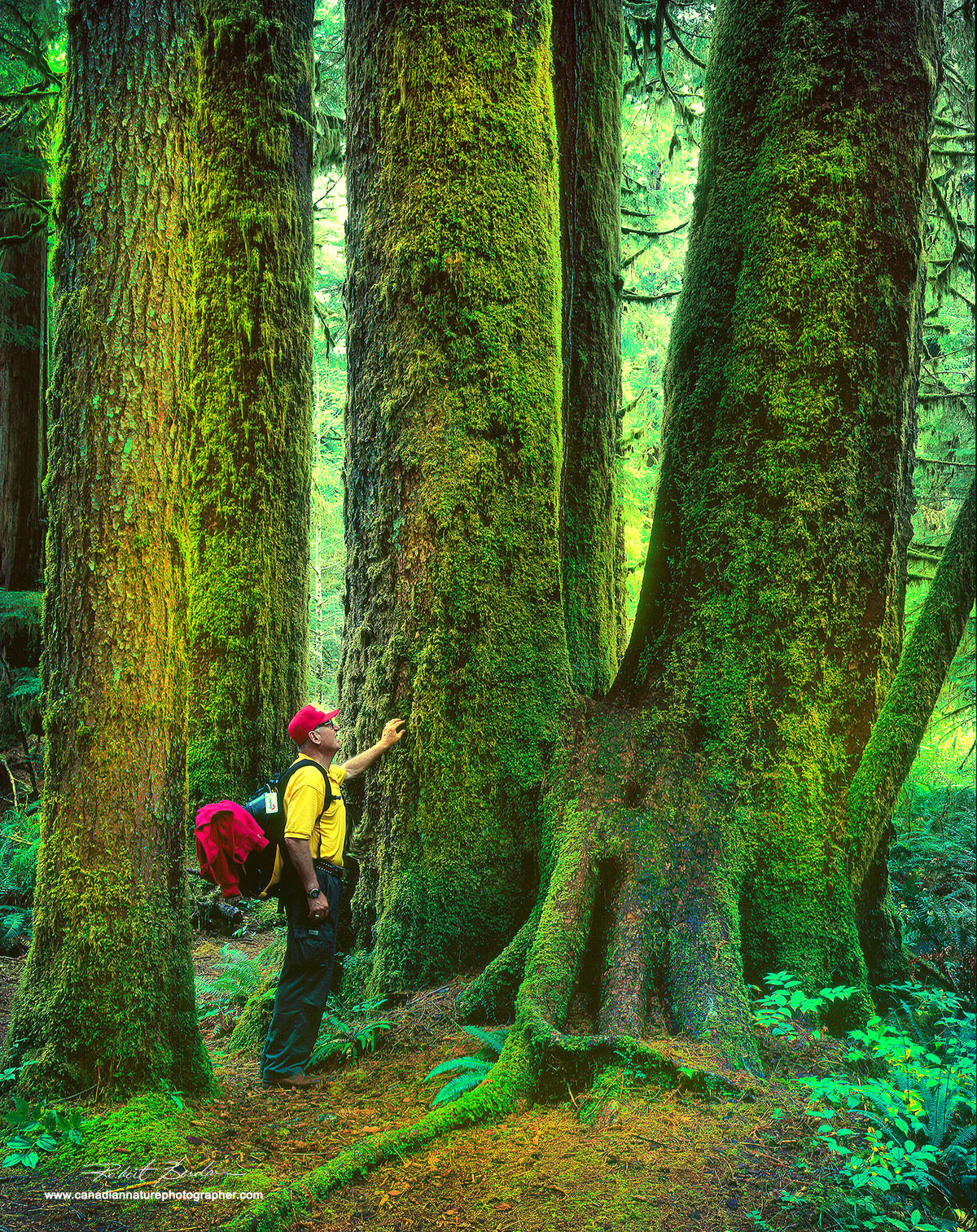 Giant Sitka Spruce in the Carmanah Valley by Robert Berdan ©
