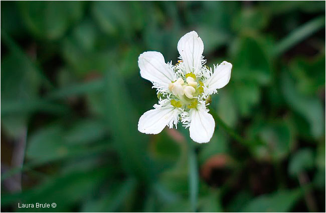 Delicate Beauty: Fringed Grass of Parnassus by Laura Brule ©
