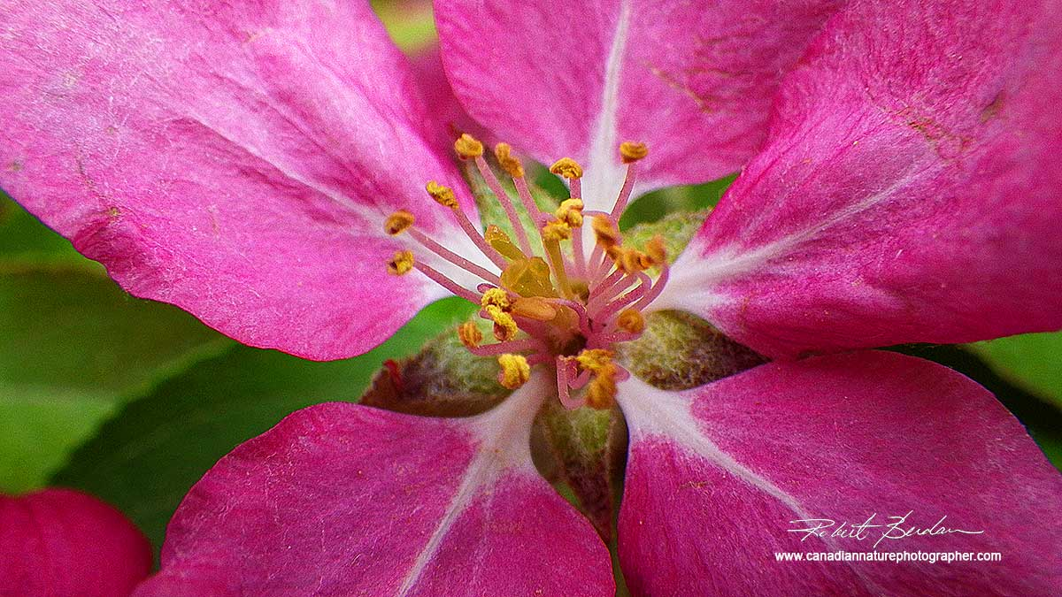"Blooming Malus ""Pink Spires"", also called Siberian Crab Apple by Robert Berdan ©"