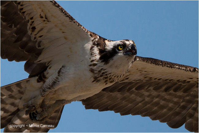 Closeup of Ospey in flight by Monte Comeau ©