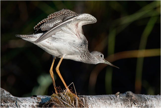 Lesser Yellow Legs by Monte Comeau ©