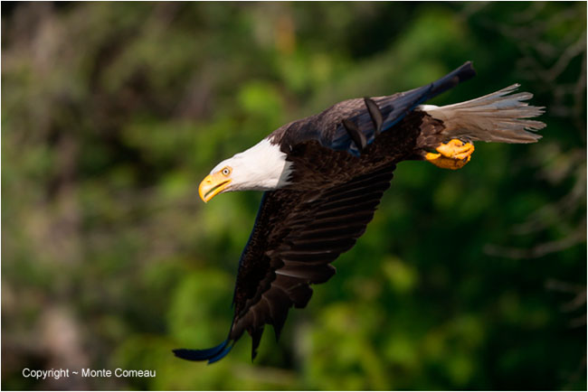 Bald eagle in flight by Monte Comeau ©